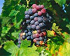 Армения – страна коньяка и вин. Традиции тысячелетий
